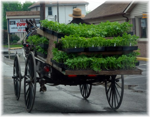 Amish buggy hauling plants 5/16/13