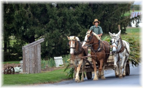 Amish corn harvest 9/14 (Photo by Doris High)