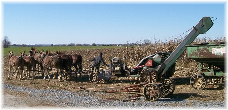 Amish corn harvest in Lancaster County PA