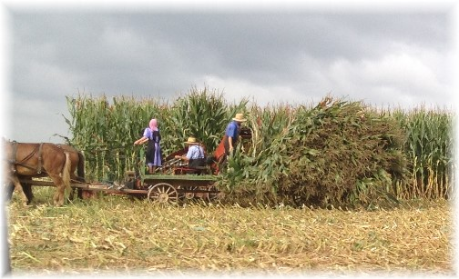Amish corn harvest, Lancaster County, PA 10/2/14