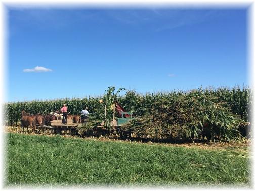 Amish corn harvest 9/2/16