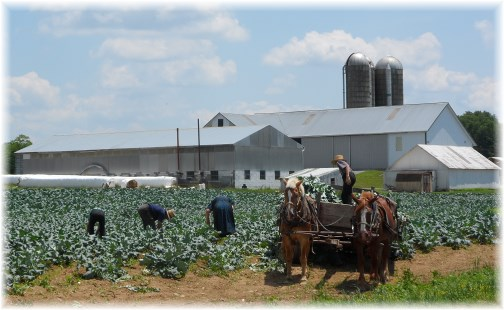 Amish family harvest, Long Lane, Lancaster County PA 6/15/13