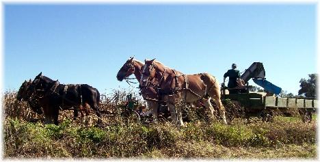 Amish harvest teams near Strasburg PA