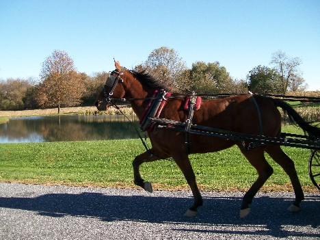 Amish horse and pond 11/2/10