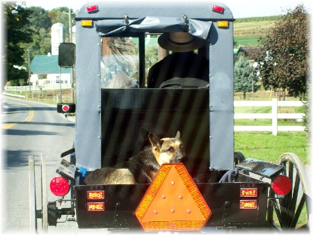 Amish pick-up with dog