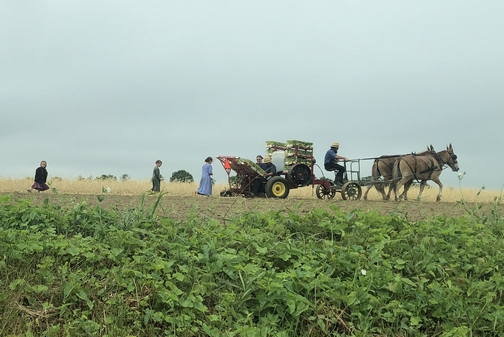Amish family planting (click to enlarge)