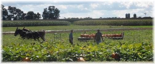 Amish pumpkin harvest (click for larger photo)