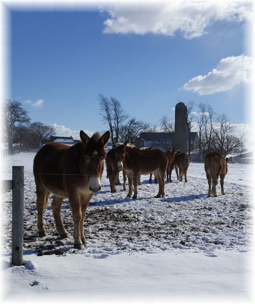 Amish team horses in snow 2/11/16 (Click to enlarge)