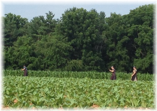 Amish women working in field in Lancaster County PA 7/8/14