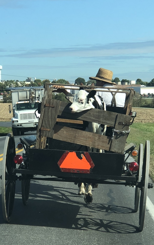 Calf being transported in rural Lancaster County, PA 10/10/19