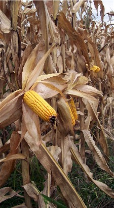 Corn ready for harvest in Lancaster County PA