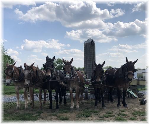 Corn planting mule team 5/8/18