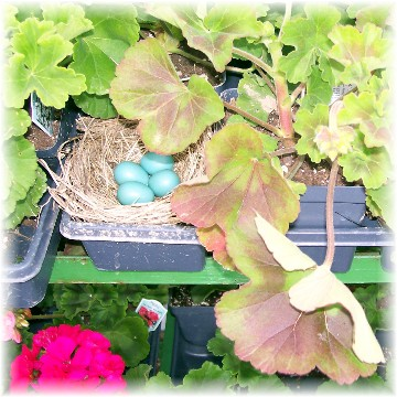 Creekside greenhouse (robin eggs) 5/7/11