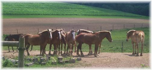 Amish team horses 7/12/11