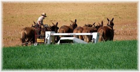 Amish harvest (photo by Doris High)