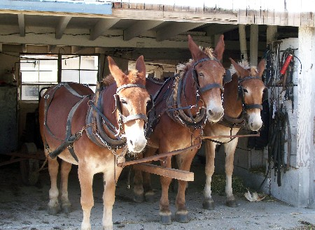 Amish mule team ready for field work