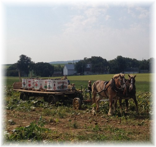 Amish watermelon harvest