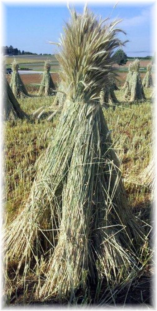 Wheat shocks 6/3/13 (Lee Smucker)