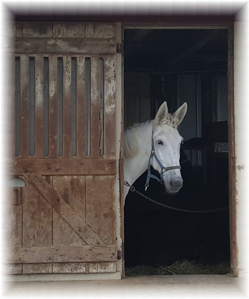 White horse in Amish barn