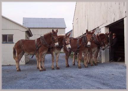 Mule work team