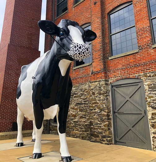 Turkey Hill cow with mask