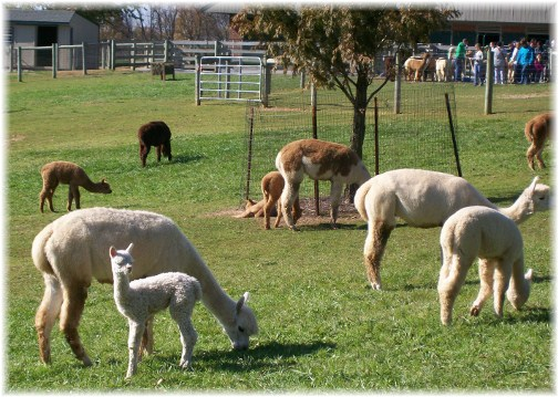 Alpaca Farm in Lancaster County PA 11/11