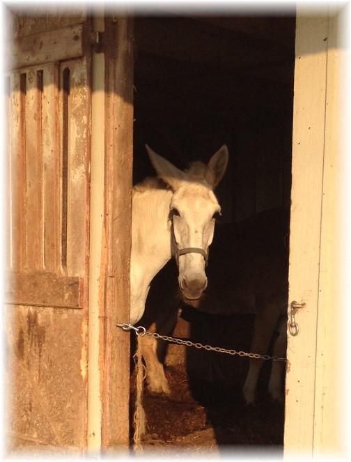 Horse looking out barn door 9/4/15