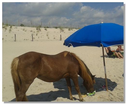 Assateague beach pony (Rick Benedick)
