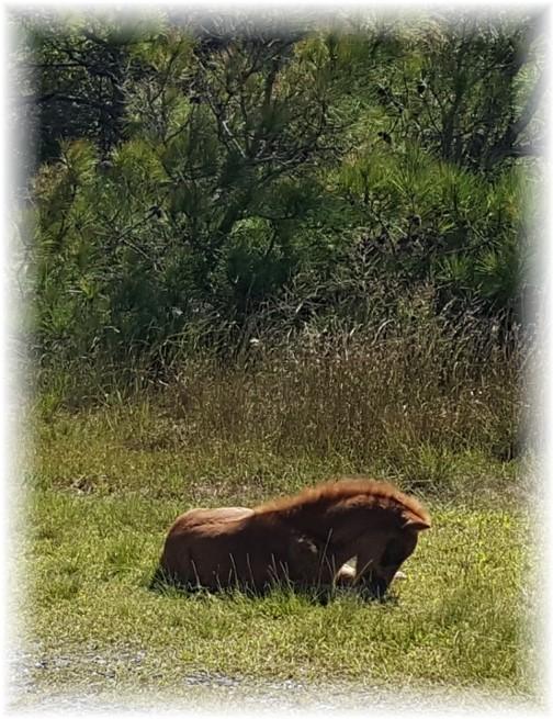 Assateague Island wild colt 9/23/17