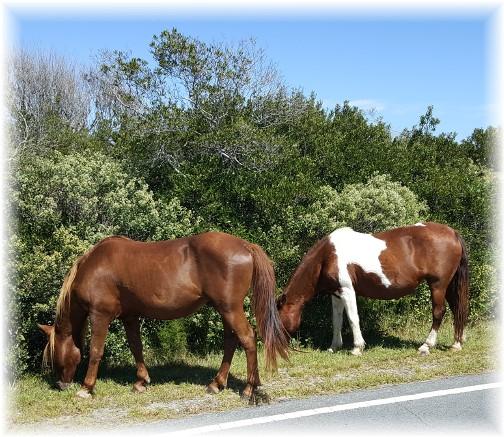 Assateague Island wild ponies 9/23/17