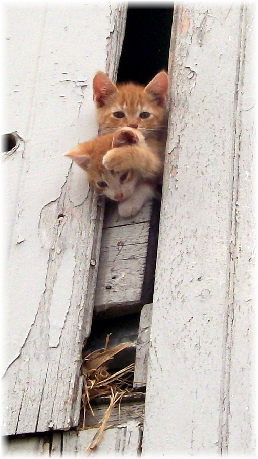 Barnloft kittens