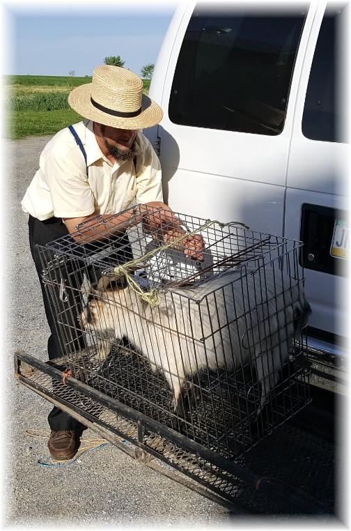 Jesse with billy goat 4/28/17