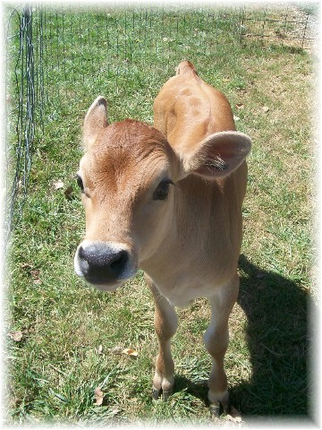 Brown calf on Amish farm
