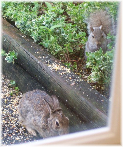 Bunny & squirrel feeding on bird seed 5/13/10