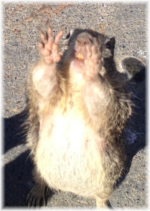 California squirrel