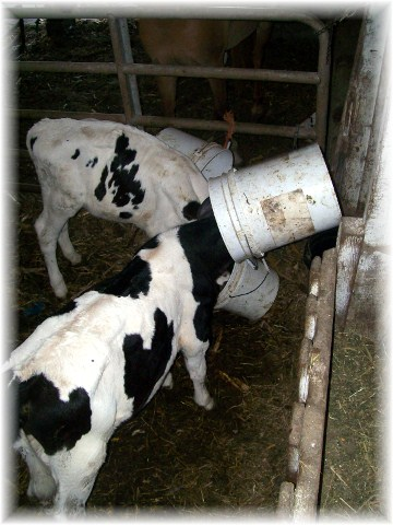 Calves with buckets