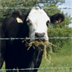 Cattle at fence