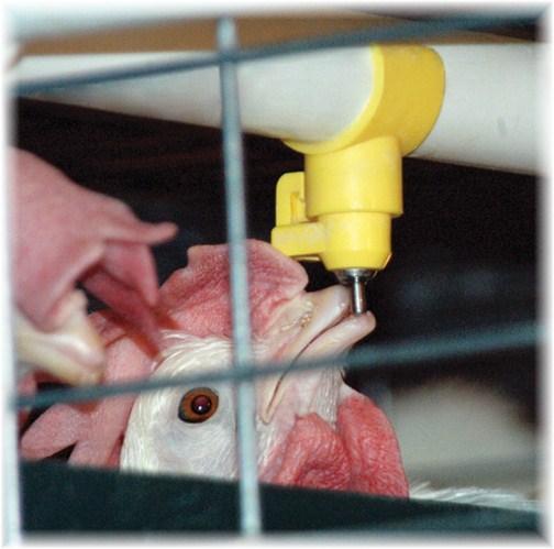 Chicken drinking (photo by Joe Ulicny)