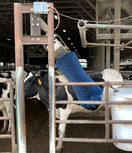 Cow back scratcher!