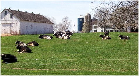 Cows resting in pasture 4/4/10