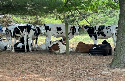 Cows in shade