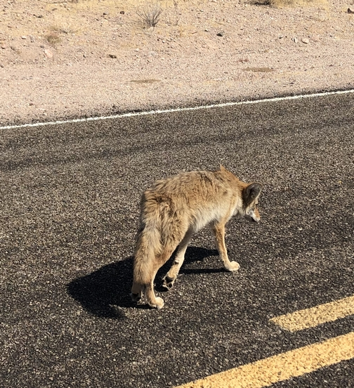 Coyote, Death Valley 9/23/19