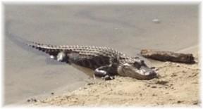 Crocodile on golf course (photo by Ken Leaman)