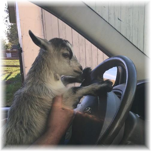 Daisy driving 9/28/17