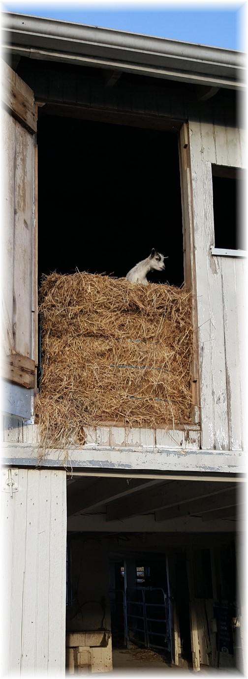 Daisy in hay loft 9/28/17