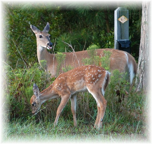 Deer on Cape Henlopan DE (photo by Greg Schneider)