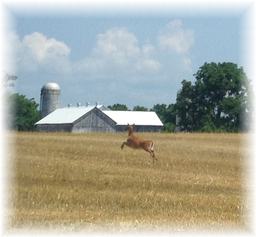 Leaping deer in farm field 7/11/14