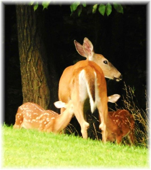 Deer nursing fawns, Rick Steudler (clik to enlarge)