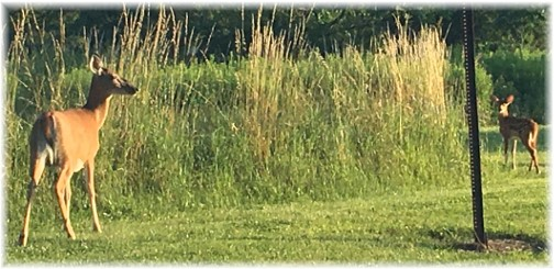 Doe and fawn near Knoebels Park , Columbia County, PA 7/4/17