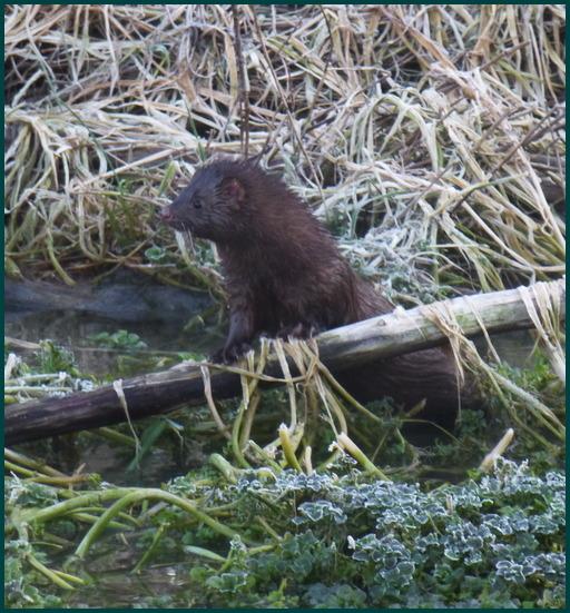 Mink along Donegal Creek (Joshua Binkley)